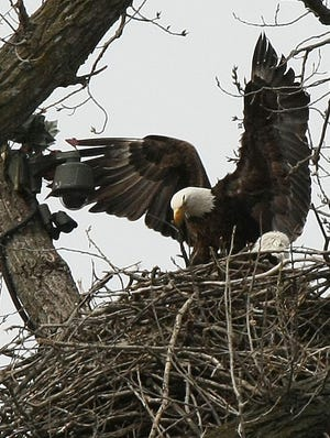 The eagles made famous by live, streaming video tend to three hatchlings in April 2011 in their nest south of Decorah, Iowa.