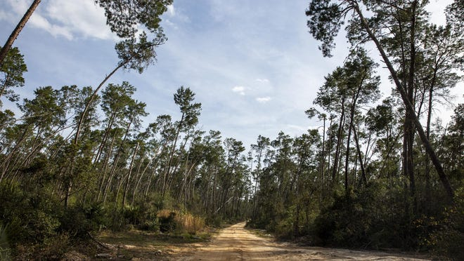 "In this March 11, 2020, file photo, an unpaved forest road takes recreationists to many corners of the Ocala National Forest. The North Florida Land Trust has recently received approval to add an inholding of the national forest, called ""Big Pine Preserve,"" to the Florida Forever program and will now seek funding to acquire the land."