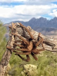 Tarantula in the Four Peaks Wilderness.