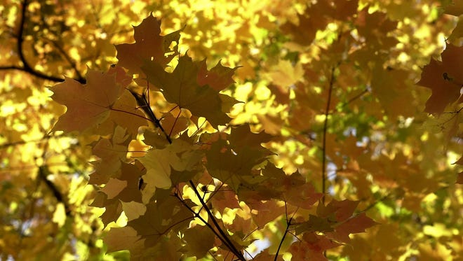 A Maple tree's leaves changing to various colors at Moores River Park in Lansing.
