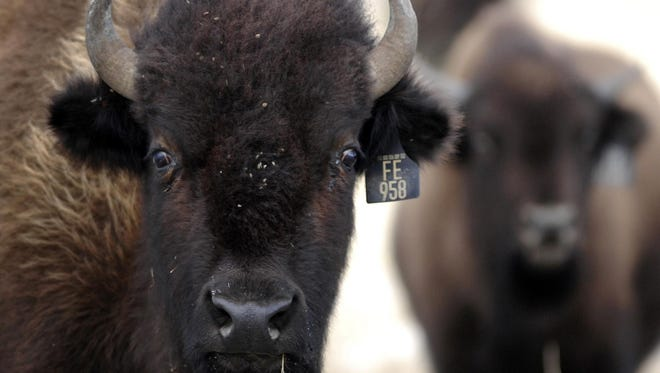 Bison on Ted Turner's Flying D Ranch south of Bozeman