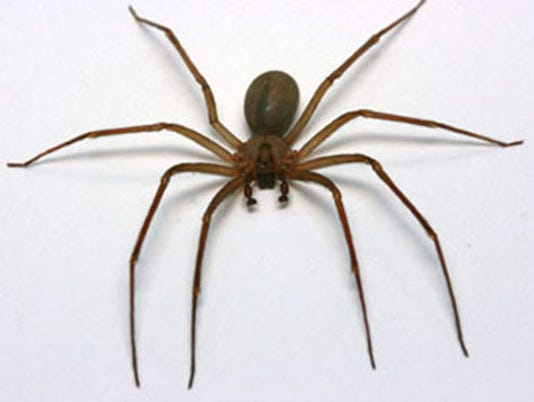 072814brown-recluse