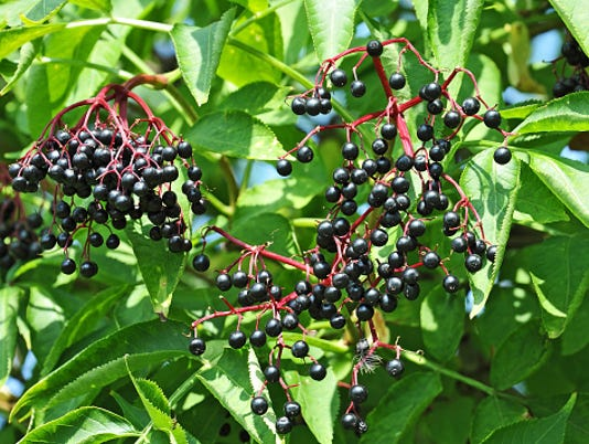 636116986612559158-elderberry-ThinkstockPhotos-577624354.jpg
