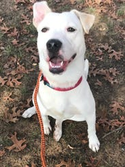 Stimpy Bailey from Eleventh Hour Rescue needs a home. He's a 1-year-old Labrador Retriever mix who walks on a leash and is crate-trained. He gets along well with other dogs and loves people, but would do best in a home with older children. To read more about Stimpy Bailey, to complete an application for him, or to see all of the adoptable pets, visit www.ehrdogs.org or call 973-664-0865.