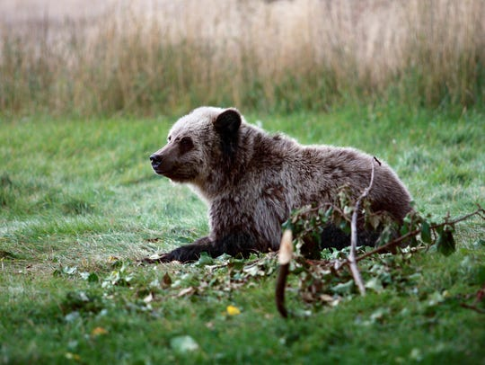 A grizzly bear cub rests near a cabin a few miles from