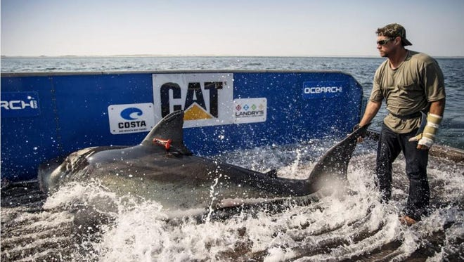 An OCEARCH biologist holds the tail of Katharine when while she is being tagged and inspected.