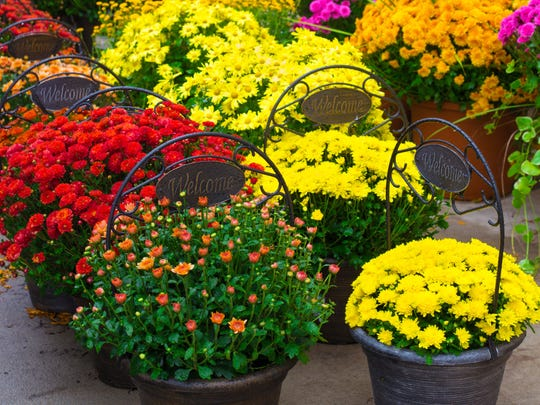 When selecting chrysanthemums for fall decoration, buy plants with flower buds that are still tight or just beginning to show color, rather than those in full bloom.