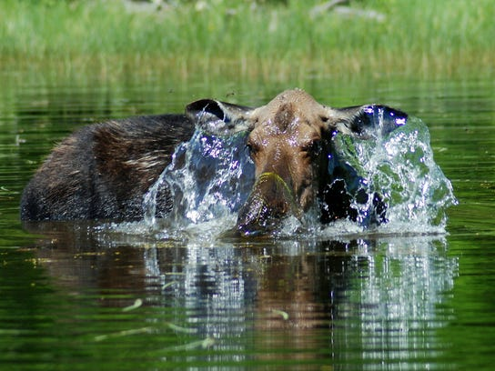 A moose takes a bath in the Boundary Waters Canoe Area