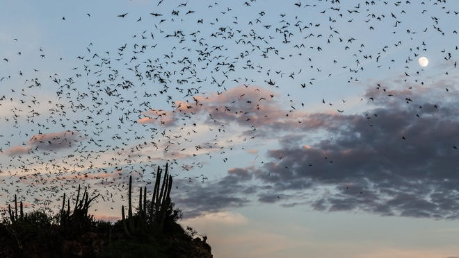 A cloud of bats. [Photo by Tomascastelazo (Own work) [CC BY-SA 4.0 (http://creativecommons.org/licenses/by-sa/4.0)], via Wikimedia Commons]