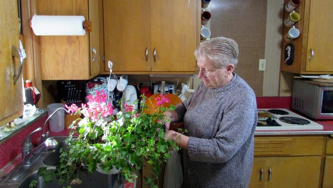Columnist Susan Manzke trims away at her geranium plants she rescued from the cold.