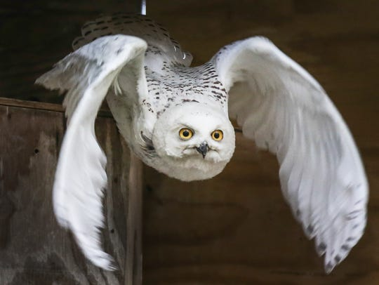 This snowy owl has been recuperating at Raptor Rehab