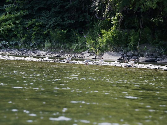 Ducks rest on rocks on the Chemung River, Wednesday, Aug. 5.