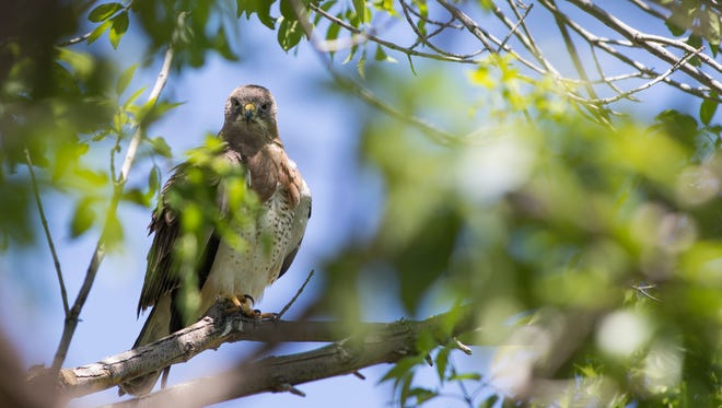 A Swainson's hawk has returned one of its favorite perches on the NMSU campus near Regents Row. The hawk has already attacked one passerby. The birds become aggressive when they are nesting.