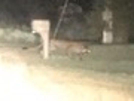 Bath Township cougar