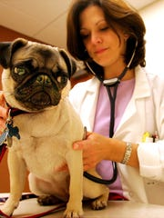 A veterinarian gives a pug a checkup.