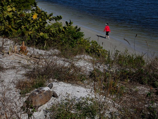 A gopher tortoise suns itself while looking over Matanzas Pass from Bowditch Point Regional Park on Fort Myers Beach on Dec. 10.