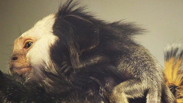 At the Binghamton Zoo, you can visit Maxine, a Geoffroy's marmoset, and her newborn.