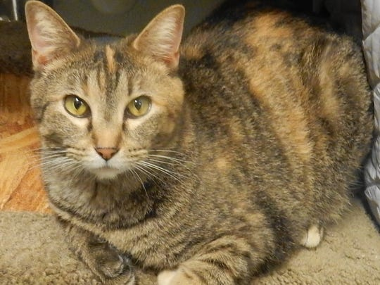 Shirley is a 1½-year-old, female, tortoiseshell kitty.