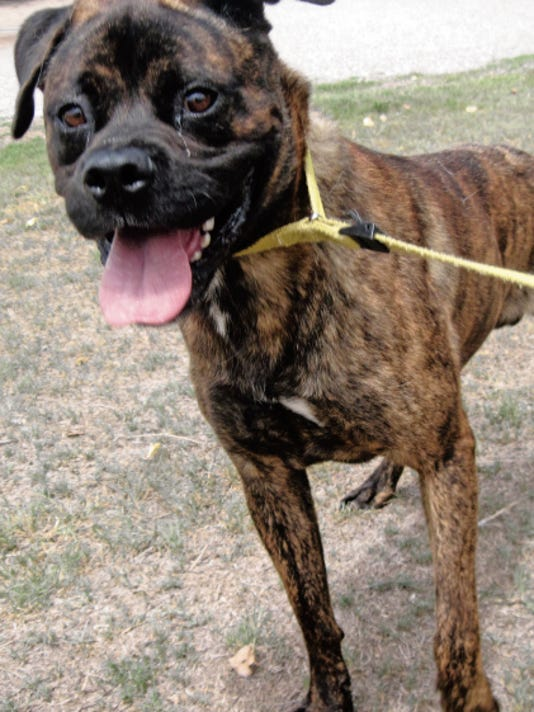 This male boxer mix is four years old. He was picked up in the area of Brookdale and S. Arapaho. He is playful, hyper, walks on a leash and good with children and other dogs. He needs room to run. For more information about adopting a Pet of the Week or other furry friends visit Alamogordo Animal Control, 2910 N. Florida Avenue, Monday through Saturday between noon and 5 p.m. or contact them at 439-4330.