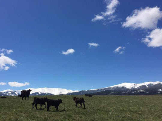 Angus calves scamper around a field. It has been a brutal winter with heavy livestock losses in some areas of Montana.