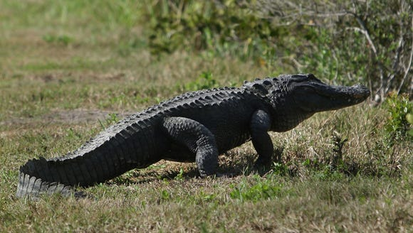 This file photo from Feb. 5, 2008, shows an alligator