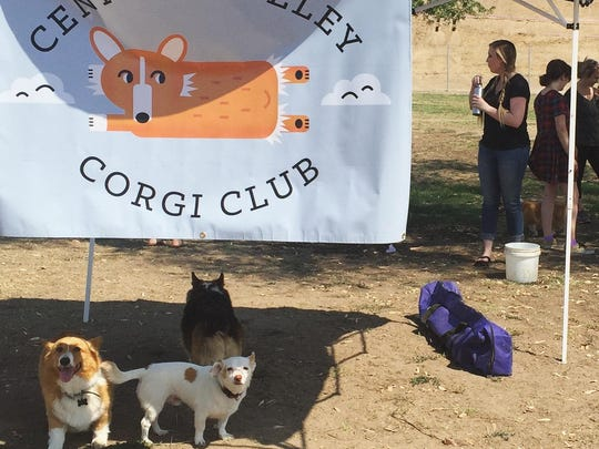 The Central Valley Corgi Club meets on the last Saturday of every month. For more information visit: facebook.com/pages/Central-Valley-Corgi-Club/617684961665029