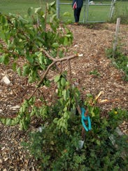 One of a dozen fruit trees that were damaged or destroyed
