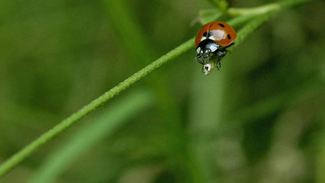 Bratislava, SLOVAKIA: A ladybug goes for a walk on a plant in a small forest of Horsky park in Bratislava 07 July 2007. The life cycle of the ladybug is between four and six weeks.    AFP PHOTO/Samuel Kubani (Photo credit should read SAMUEL KUBANI/AFP/Getty Images)