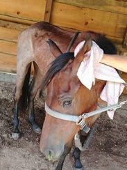 The malnourished horse, shown here the morning of its