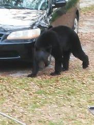 A male black bear estimated to be about 2-to-3-years-old