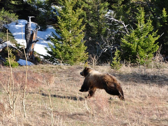 636607101363526753-female-grizzly-released-on-Sun-River-WMA.jpg