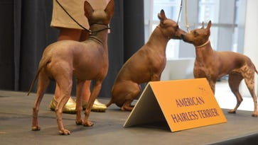 New dog in town: With its lack of coat, the American hairless terrier is good for allergy sufferers.