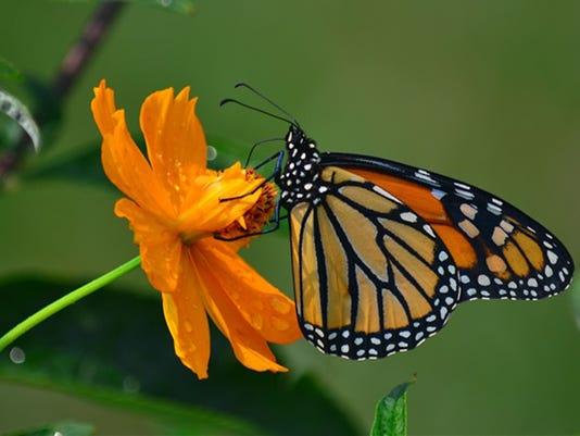 635486150289440274-MonarchButterfly