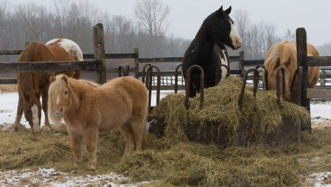 Rescued horses gather around a hay mound at Amazing Grace Equine Rescue in Elkhart Lake.