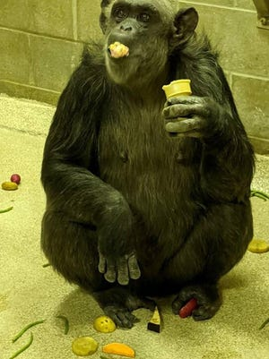 Female chimpanzee Randi is one of the chimpanzees who has just joined the troop at the Rolling Hills Zoo.
