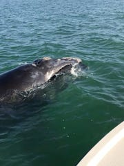 This rare right whale was spotted in the Gulf of Mexico on Monday, Jan. 22, 2018, by fishing boat Capt. Robert Holzinger.