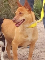 This mixed-breed dog is slated to be euthanized Sunday by the Animal Service Center of the Mesilla Valley, if adopters don't step forward beforehand. The dog is one of six heartworm-positive canines in need of homes.