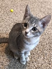 Piper is a 5-month-old, spayed-female domestic short