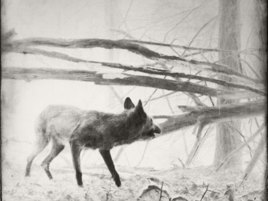 """Coyote,"" a photo by Jill Skupin Burkholder, is part of the ""New Directions 2016"" exhibit at Barrett Art Center, Poughkeepsie, through Nov. 5."