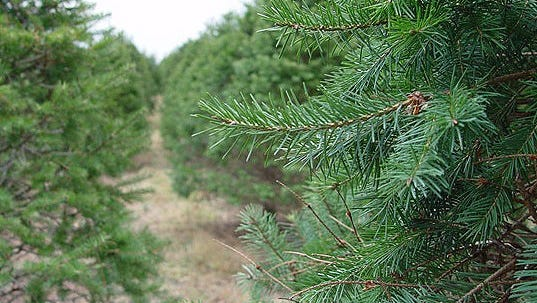 The Chesapeake Bay Foundations urges residents to use real Christmas trees whenever possible.