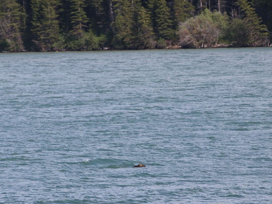 A grizzly bear swims across Lake Sherburne in Glacier