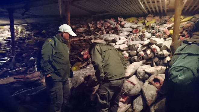 This handout picture released by the Environment Ministry of Ecuador shows frozen fish in a Chinese ship confiscated by the Navy in the waters of the Galapagos marine reserve on August 14, 2017.  The Ecuadorian Navy reported on August 14, 2017 that a Chinese-flagged vessel was seized in the Galapagos Marine Reserve carrying some 300 tons of fish, including several endangered species such as the hammerhead shark.