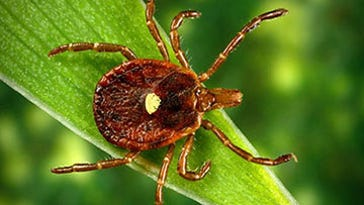 The Lone Star tick is gorging on Garden State blood