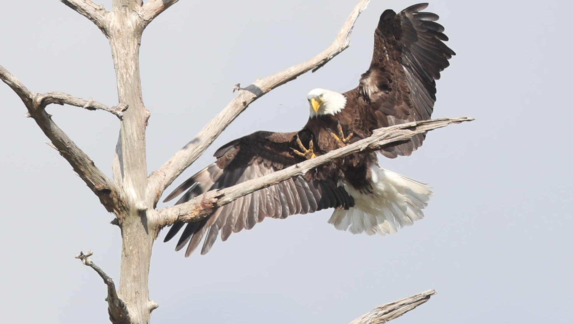 Celebrity Bald Eagle Harriet Lays The First Egg Of Nesting Season Diagram