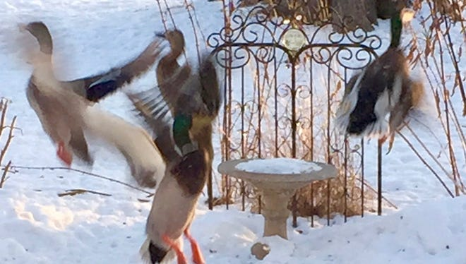 The birds keep getting bigger at the backyard feeders this winter, including these mallards, who put a real dent in the cracked corn supply when they drop in.