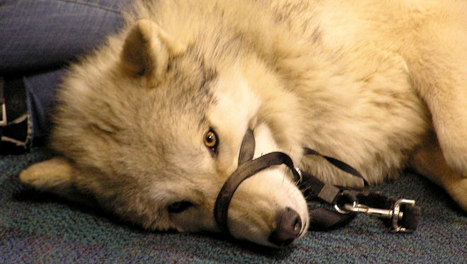 Logan, a 2-year-old wolf owned by Ironwood Wolves, lies on the floor of the Mansfield-Richland County Public Library as his owners give a talk Tuesday night.