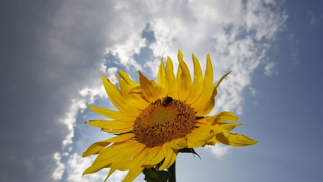 Sunflowers are the theme for a fundraiser for the Bellevue Historical Society on Saturday.