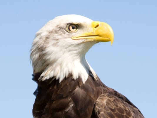 HES-stockimage-022216- bald eagle stock image.jpg