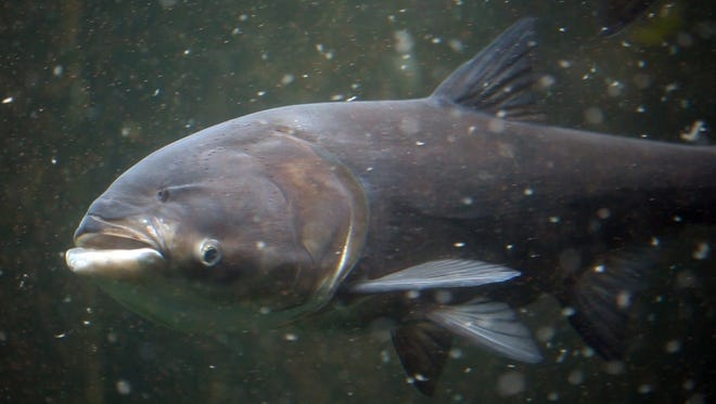 A bighead Asian carp feeds on plankton at the Shedd Aquarium in Chicago, Ill. on Tuesday, Sept. 7, 2010.