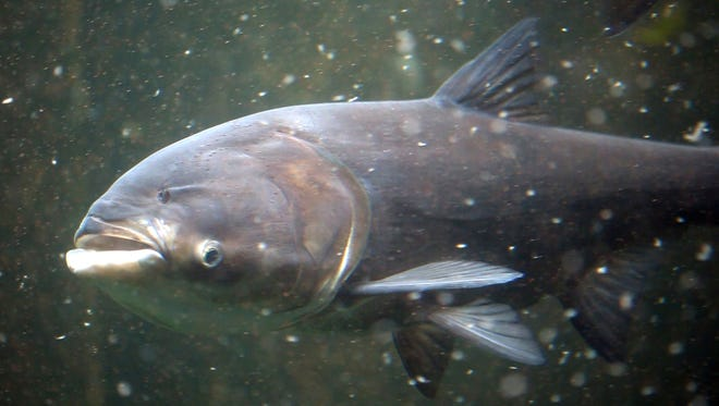 A bighead Asian carp feeds on plankton at the Shedd Aquarium in Chicago in September 2010. The carp are filter feeders and can eat about a third of their body weight per day in food.